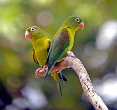 Birds Parrots Orange-chinned Parakeet, Colombia