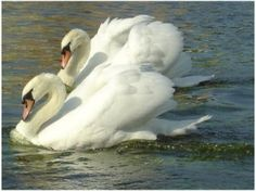 Mute Swans in pairs