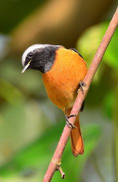 The Daurian Redstart (Phoenicurus auroreus) is a small passerine bird from temperate Asia. It is a fairly common bird in East Asia, ranging east from Mongolia and the Himalayas. It is migratory, wintering in Korea, Japan, SE coastal China, Taiwan and in northern India and parts of SE Asia.