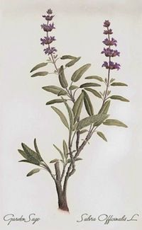 Also known as Salvia officianalis, sage is an antibacterial, antiviral, antimicrobial, anti-inflammatory, anti… pretty much anti-anything-that-feels-lousy