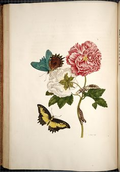Maria Sibylla Merian Metamorphosis insectorum surinamensium [Transformations of the insects of Surinam] , [1705],  Image number:SIL33-05-32