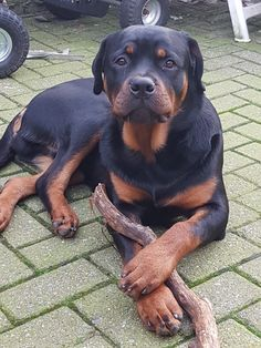 Boef❤ Big Dogs, I Love Dogs, Dogs And Puppies, Dog Best Friend, Best Friends, Rottweilers, Pitbulls, Good Buddy, Happy Dogs