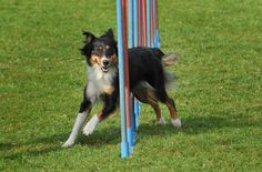 Agility Training for dogs has a multitude of benefits. It gives your dog a mental and physical challenge. It puts their natural instincts to work in a positive manner. And it gives you the opportunity to deepen your bond with your dog.