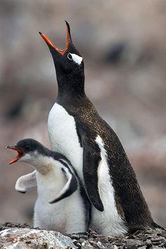 El pingüino juanito, pingüino papúa, pingüino gentú o pingüino de vincha (Pygoscelis papua) es una especie de ave esfenisciforme de la familia Spheniscidae. Es fácilmente identificable por su parche blanco en la parte alta de la cabeza detrás de los ojos. Los polluelos presentan espalda gris y zona frontal blanca. Los adultos alcanzan una estatura de 75 a 90 cm. Los pingüinos papúa son los pingüinos más veloces bajo el agua, alcanzando los 36 km/h.[