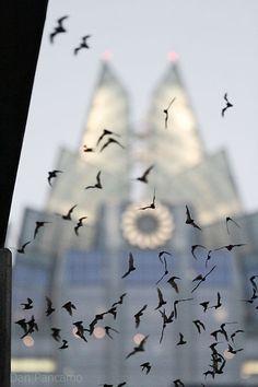 Bats in flight at the Congress Avenue Bridge in Austin, Texas