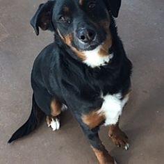 Wilmington, Ohio - Rottweiler. Meet Deidre, a for adoption. https://www.adoptapet.com/pet/20437922-wilmington-ohio-rottweiler-mix