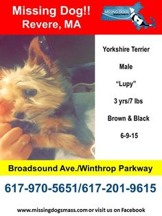 "Missing Dogs Massachusetts June 10 · Edited ·     6-11-15 Lupy is still missing and there have been no sightings. Please continue to share.   Missing Male Yorkshire Terrier - Revere, MA 6-9-15  ""Lupy"" is 3yrs/7 lbs and is Brown & Black. He is missing from the vicinity of Broadsound Ave & Winthrop Parkway. Please share to get this boy back to his worried family. #revere_ma #reverepolice #revere Call: 617-970-5651 pr 617-201-9615 Sharon Boulanger"