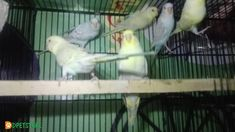 Fellow Budgie Available at very reasonable price. Feel free to buy Fellow Budgie Available at very reasonable price online from trusted sellers in Pakistan on pet classifieds. Birds For Sale, Buy Birds, Kinds Of Birds, Budgies, Parrot, Pets, Things To Sell, Parrot Bird, Parakeets
