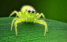 Green jumping spider