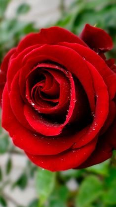 Red roses  #iPhone #5s #Wallpaper