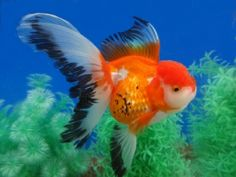 Goldfish Auction -- tricolored Oranda