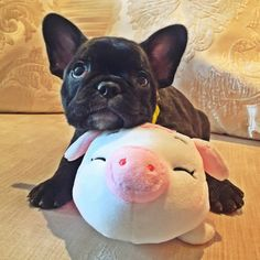 Bat pig and Piggy, French Bulldog Puppy