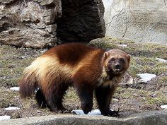 Wolverine, Michigan's Mascot. Not a pleasant guy to meet.| Flickr - Photo Sharing!