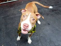 TO BE DESTROYED - 12/29/14 Manhattan Center -P  My name is OLIVIA. My Animal ID # is A1023816. I am a female tan and white am pit bull ter mix. The shelter thinks I am about 1 YEAR   I came in the shelter as a STRAY on 12/22/2014 from NY 10463, owner surrender reason stated was STRAY.
