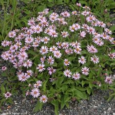 IMG 2008-Jul08 at AlaskaHwy NW of BeaverCreek-YT:  Siberian aster (Eurybia sibirica) clump