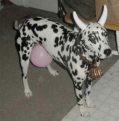 Rufo es un fan de las vacas, ingenioso su disfraz, ¿No crees?