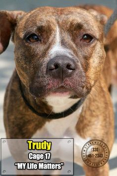 "ADOPTED❤❤❤TRUDY ""17 Trudy"" - URGENT - Stark County Dog Warden in Canyon, Ohio - ADOPT OR FOSTER - Young Female Pit Bull Terrier - Available 08/23/2016. STILL LISTED  9/8/16"