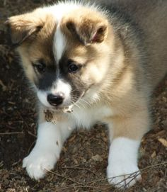 Icelandic Sheepdog | Posts from April 2010 - Eagleisle Iceland Sheepdogs