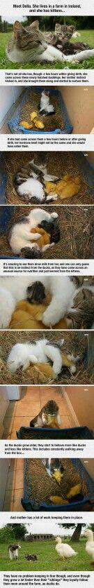 Cat adopts baby ducks