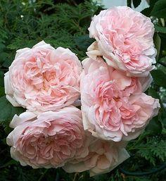 'Eglantyne' * - Austin (1994). Volgens David Austin één van  de mooiste Engelse rozen. Zachtroze bloemen (8-10cm), met zoete 'Oude' rozengeur. Zeer sterk. Goed ziekteresistent.  120cm x 90cm.
