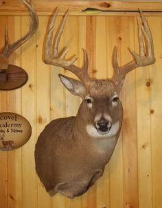 Deer Shoulder Mounts :: Scovel Taxidermy