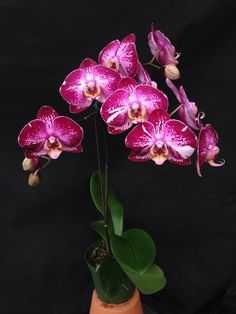 https://flic.kr/p/jZ9BBK | Phalaenopsis Jiuhbao Fairy (Sogo Sofei x Jiuhbao Palentine) CA-20683 | Color can vary Flower - 4 inches Plant - 24 to 30 inches blooming with pot