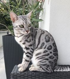 Good Free Bengal Cats grey Style Initial, when it comes to what is really a Bengal cat. Bengal pet cats absolutely are a pedigree breed of dog . White Bengal Cat, Grey Kitten, Bengal Kitten, Sphynx Cat, Cat Ideas, Baby Animals, Cute Animals, Cat Anatomy, Cats Tumblr