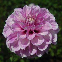 Blackberry Ice - Pale Lavender w/Deep purple center Dahlia Unique Flowers, Types Of Flowers, Exotic Flowers, Beautiful Flowers, Dahlia Flowers, Real Flowers, Cut Flower Garden, Pink Garden, My Flower