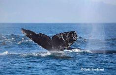 Monterey Bay Whale Watch :: Humpback Flukes