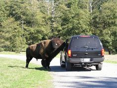 Olympic Game Farm. Sequim, Washington.     Drive through at your own risk and see wild animals all around you.