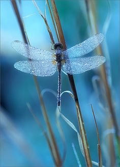Waiting for the Sun (Meadow Hawk dragonfly) by Patrick Zephyr