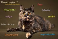 Cat Care 101 Many pure-bred cats can be Tortoiseshell cats, it's a color, not a breed. Tortoise As Pets, Tortoise Care, Tortoise Shell, Crazy Cat Lady, Crazy Cats, I Love Cats, Cool Cats, Tortoiseshell Cat Personality, Suki