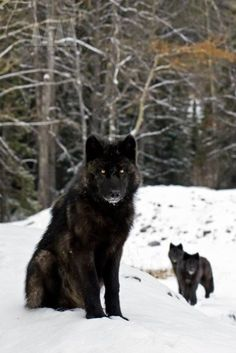 Black wolves (There's something about black wolves that make them appear to have the answers to all the questions you'll ever have.)
