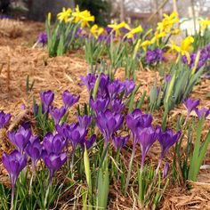 I've got spring on the brain... Love crocus. They let me know spring is here! Mine last year came up through the snow!