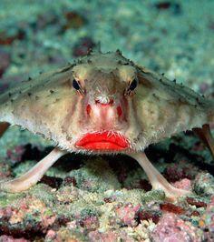 vleermuisvissen