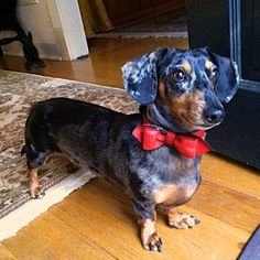 Another super cute super happy customer! Riley looks absolutely amazing in his new LuxeMutt Renegade Red Bowtie Collar! Big thanks for his mom for letting us post this.