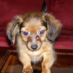 Chiweenie Pup - Cocoa Blue