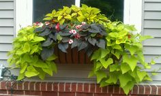 Window Box using Coleus,Impatients, and Sweet Potato Vine great for morning sun afternoon shade !