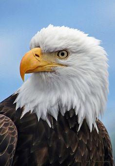 Bald Eagle [photo: PamsWildImages]