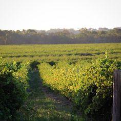 Sunday night vineyard view from Artisans of Barossa...   #Barossa #BarossaDirt #BarossaValley #vineyard #grapevines #winery