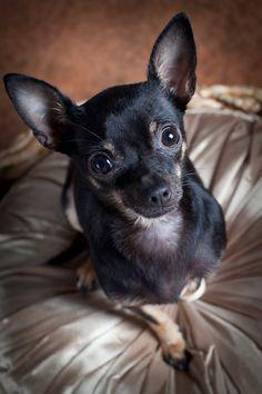 Apple Head Vs Deer Head Chihuahua