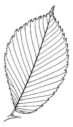 Redbud tree coloring pages ~ Leaf Line Drawing | Genus Cercis, L. (Red Bud) | ClipArt ...