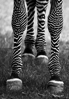 Zebra legs by h faulkner black n white, black white photos, black and white Black N White, Black White Photos, Black And White Photography, Beautiful Creatures, Animals Beautiful, Cute Animals, B&w Tumblr, Wallpaper Schwarz, Foto Art