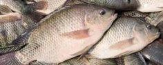 Our Aquaponics: Trouble shooting fish problems in aquaponics