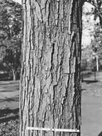 With over a hundred species and nearly as many subspecies, maple tree identification can be tricky. Add in the countless cultivars available and differing . Maple Trees Types, Maple Tree Varieties, Maple Tree Bark, Maple Syrup Tree, Trees And Shrubs, Trees To Plant, Tree Bark Identification, Tree Study, Natural Garden