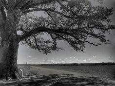 Trees- Burr Oak (Quercus macrocarpa)