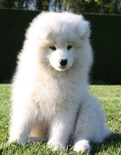 Samoyed Puppy. Want one. Looks like an adorable Polar Bear puppy-thing.