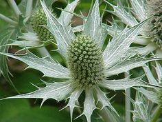 Sea Holly (Eryngium), Alpine sea holly (E. alpinum) is a deep steel blue, while E. amethystinum is more silvery blue. Miss Willmott's Ghost (E. giganteum) produces especially striking conical flowers, each surrounded by a wreath of silvery, spikey bracts Orange Flowers, Cut Flowers, Dried Flowers, Colorful Flowers, White Flowers, Flower Colors, Autumn Flowers, Globe Amaranth, Sea Holly