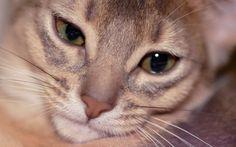 Co to jest przydomek hodowlany w hodowli kotów rasowych?