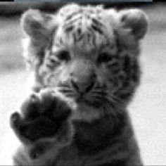 Please I just want to hold one!!! This is for sure on my bucket list, hold a baby tiger!!! :)